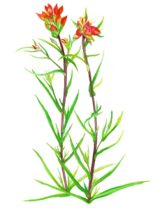 Indian Paintbrush - wildflower painting by Michael Earney